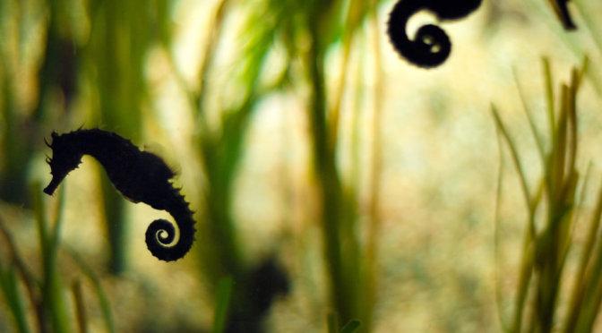 seahors